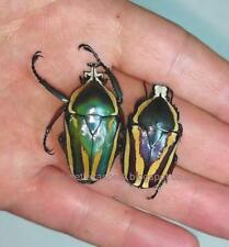A flower beetle, Dicronorrhina derbyana conradsi live L2-L3 larvae