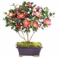 Brussel's Bonsai Camellia - DT4015CHF Outdoor Bonsai Live Tree