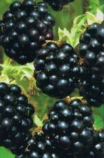 Rubus fruticosus 'Black Satin' - Brombeere