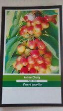 4' live Yellow Cherry Tree Sweet Fruit Cherries Trees Plants Garden Plant