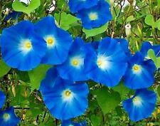 Morning Glory Seeds Heavenly Blue, Heirloom Flower, Climbing Vine, Non-Gmo 75 Ct