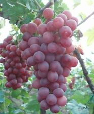 Giant Red Globe Grape Seeds - Biggest Variety, 5 Finest Seeds - Liveseeds