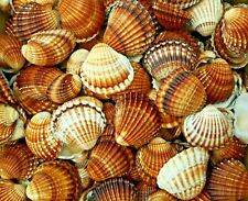 Shells Seashells Lot Big 20 Pcs Natural Cardiidae Aquarium Decor Craft 35-50mm