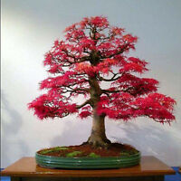 20pcs Rare American Red Maple Bonsai Tree Fresh Viable Seeds Pot Plants