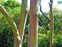 Eucalyptus deglupta RAINBOW EUCALYPTUS TREE SEEDS!