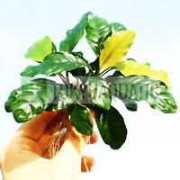 Anubias Coffeefolia Rhizome Loose Live Aquarium Plants Rooted Barteri Decoration
