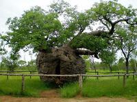 Baobab Tree Seed Drought Hardy Inland Native (Adansonia gregorii)