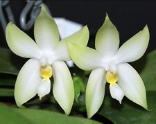 Phalaenopsis bellina alba Orchid Species Bloom Size Taiwan Import