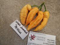 Naga Peach Chili - 5+ Samen - Saatgut - Seeds - Gemüsesamen