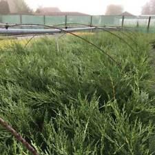 Plant Neutral Shrubs & Hedges Leylandii