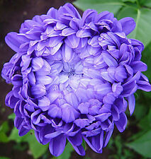 Organic Flower seeds Giant Aster Pionen ''Lazurit'' (Callistephus chinensis).