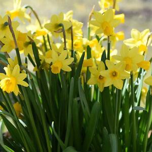 Narcissus *Tete a Tete* Dwarf Miniature Daffodils Fresh Spring Bulbs