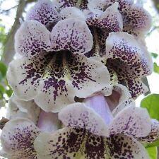 PRINCESS TREE SEEDS PAULOWNIA FORTUNEII FLOWERING TREE GARDEN POT 1000 SEED PACK