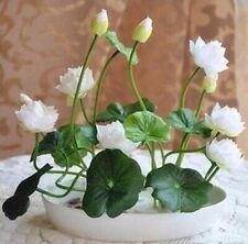 White Water Lily Bowl Lotus Seeds (2pcs)
