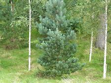 10 Scots Pine Trees 25-30cm Tall,Native Evergreen, Pinus Sylvestris 2yr old