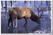 Elk in Winter  Deer Nature Animal Wildlife Print POSTER