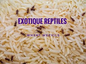 Wheat weevils starter Culture. Fruit Fly bean weevils