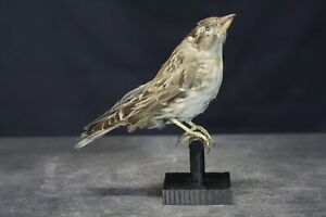 Taxidermy-hunting-chasse-präparat- Rock Sparrow with permit