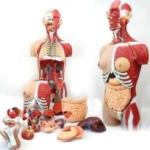 4D Anatomical Assembly Model of Human Organs 28 CM