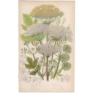 Anne Pratt antique 1860 botanical print Flowering Plants Pl 90 Garden Angelica