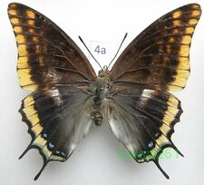 Charaxes jasius (Linnaeus, 1767) Croatia 83mm4a