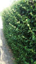 Liguster , Hecke, Ligusterhecke , winterhart, 50 Pflanzen