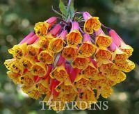 20 Seeds - Bomarea Multiflora Very Rare - Alstroemeria - Flowers Rouge Orange