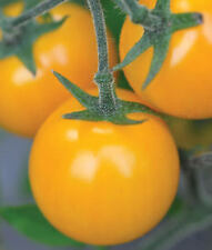 West Coast Seeds TM780 Tomatoes Gold Nugget - 50 Seeds
