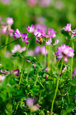 50 Milk Vetch Astragalus Sinicus Pink Purple Flower Ground Cover Legume Seeds