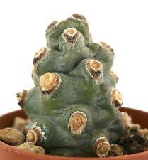 Tephrocactus molinensis FAT CLONE N4N no crested aztekium geomtericus