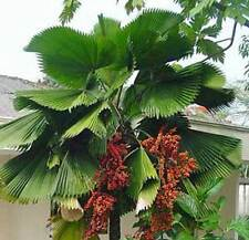 Licuala grandis Ruffled Fan Palm 10 seeds