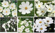 "White Cosmos "" Purity Sensation "" Large White Blooms    Bulk    200 + Seeds"