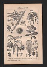 Lithografie 1893: AMENTACEEN. (DIKOTYLEDONEN: Choripetalen.) Korkeiche