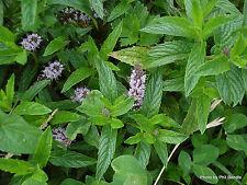 Mint Herb Seeds Large leaf. Spirmint Heirloom