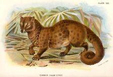 Sharpe's Cat Handbook - Chromo -1890- COMMON PALM CIVIT