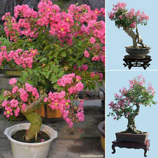 10Pcs Lagerstroemia Indica Seeds Crape Myrtle Amazing Flowering Bonsai Seeds.UK