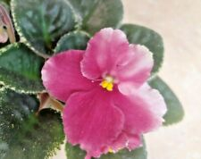 African Violet Plant - Le Koster~ variegated Standard~ in bloom