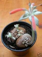 Sinningia Leucotricha Seeds - Caudex Succulent