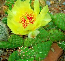 Opuntia fragilis, winterharte Steingarten-Pflanze, nordamerikan. Feigen-Kaktus