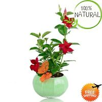 Mandevilla Sanderi Bonsai Seeds Plants Potted Balcony Ing Seasons Flower 100pcs