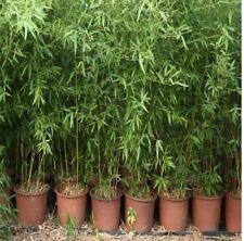 Bamboo Tree 100+ Seeds (Dendrocalamus Strictus) Rare!