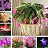 TH_ 100pcs Schlumbergera Flowers Christmas Cactus Plants Bonsai Free Shipping