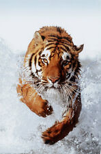 Tiger Running Through Water Poster Print, 24x36