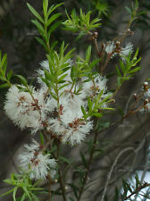 White Feather Tree Seed Good Screen Showy Flowers Evergreen