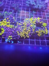New listing Vietnam Zoanthids Live Coral Full Colony Wysiwyg