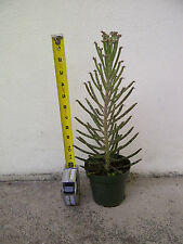 "Mother-of-Thousands (Kalanchoe Tubiflora) Rooted, 12"" Hardy Succulent Plant"