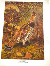 Ruffled Grouse by W.J.Wilwerding, OUTDOOR LIFE NATURE SERIES PRINT.