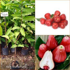 "Rose Apple plant Syzygium samarangense ""Tubtim Chandra"" Java apple 55 cm Tall"