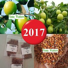 50pcs NEW Taiwan Big Jujube Seeds Honey Sweet Dates Seeds Fruit Tree, Fruit Seed