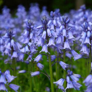 100 x ENGLISH BLUEBELL Seeds Native Wildflower UK Hyacinthoides non-scripta